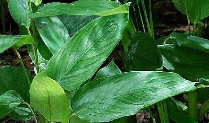 plantes-medicinales-marante