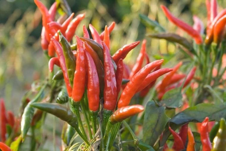 plantes-medicinales-piment-de-cayenne