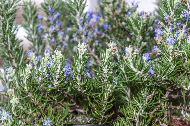 plantes-medicinales-romarin-avec-fleurs
