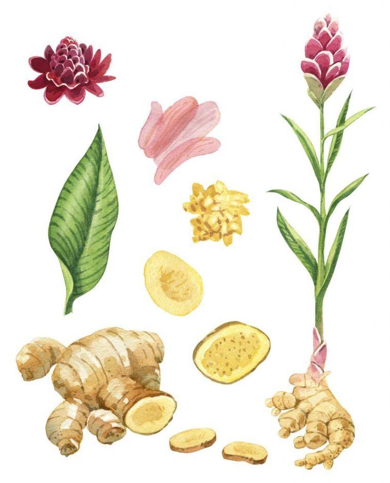 gingembre plante racine photo