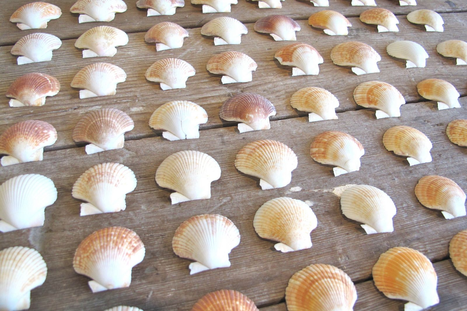 coquillages pour DIY